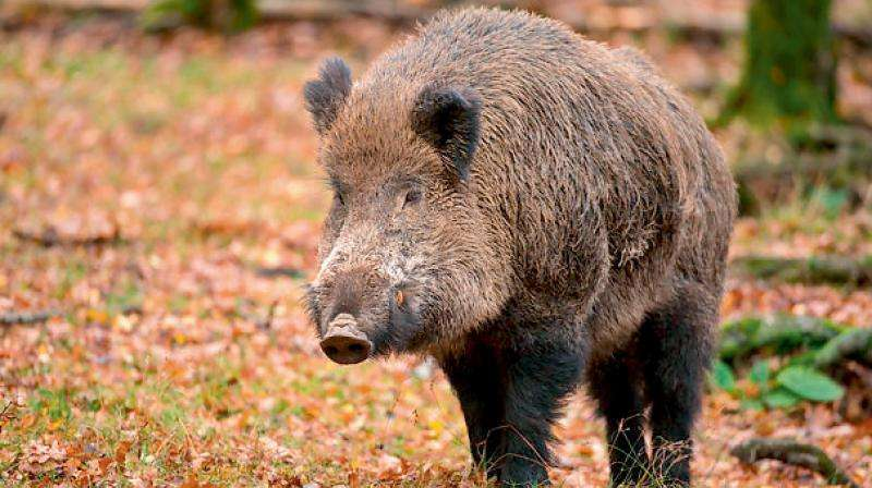 sarpanchs-can-kill-wild-boars-telangana-govt_g2d